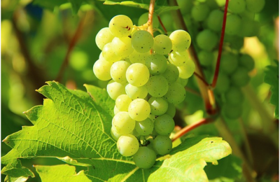 Interesting Facts About Grapes